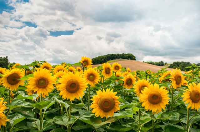How-to-Make-Sunflower-Paper-Flower-field